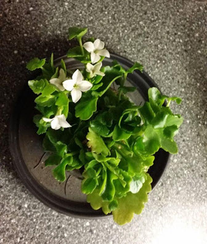 Här skulle ha varit en bild på vårt hyacint arrangemang. Men det ville sig inte (det här nya med telefonen och google ...) Det blev bild på barnbarnets födelsedagsblomma istället. Den som han fick av sin Farmor o Farfar i juli - den blommar fortfarande - och jag slänger inte levande växter ...