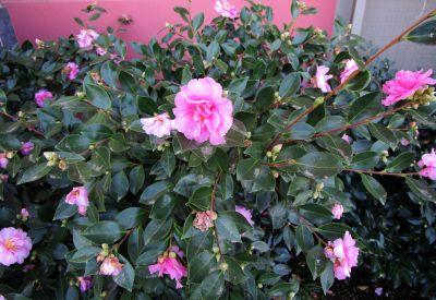Gardenia eller Kamelia ...?